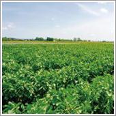 HB-101で空豆の樹勢が良くなり、茎の根本も改善されました。