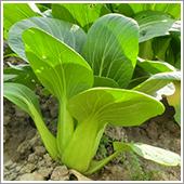 チンゲン菜の栽培方法
