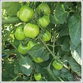 HB-101でトマトが沢山なります。