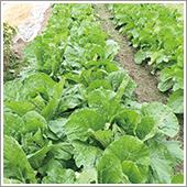 HB-101で白菜の生育が素晴らしいです。