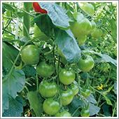 HB-101と顆粒HB-101で小玉のトマトが生って生って生りまくっています。