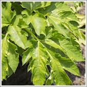 アシタバの栽培方法