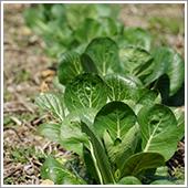 小松菜の栽培ポイント