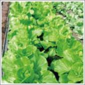 HB-101で無農薬栽培するレタス、白菜、キャベツは光沢が豊かで、味が良いと大好評です。