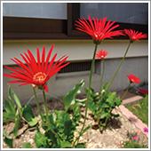 ガーベラの花の2株がHB-101で次から次に花をつけています。