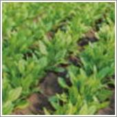 土壌に顆粒HB-101を混入し、発芽後にHB-101を散布し続けて、生き生きと育つほうれん草です。