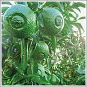 HB-101で「はるか」の実が肥大となり、葉数が増え、1反(300坪)当たりの収穫量が3トンから6トンに増えています。(令和1年10月8日撮影)。