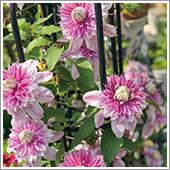 HB-101で八重のクレマチスが素晴らしい咲き方です。