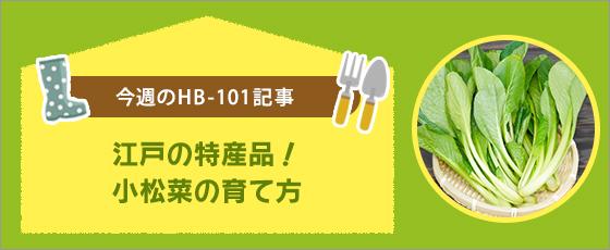 江戸の特産品!小松菜の育て方