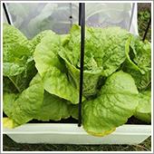 白菜の栽培方法