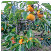 HB-101で柿がとてもおいしいです。