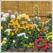 HB-101のおかげで菊にアブラムシがつかなくなり、白サビ病や黒サビ病にならず、元気に菊が育つようになりました。