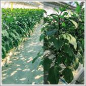 ナスの生り疲れにHB-101を使うと、元気になって安定した収穫が出来ます。