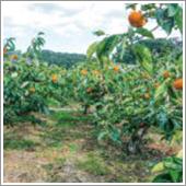 HB-101で柿がよく育っています。