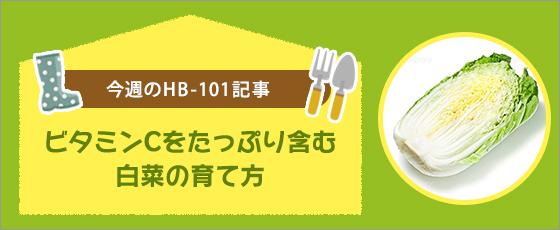ビタミンCをたっぷり含む白菜の育て方