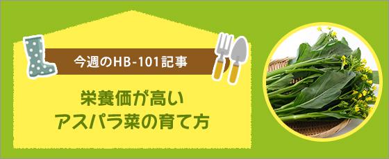 栄養価が高いアスパラ菜の育て方