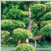 HB-101でイヌマキの葉の色合いが濃緑を呈し、密生するようになりました。